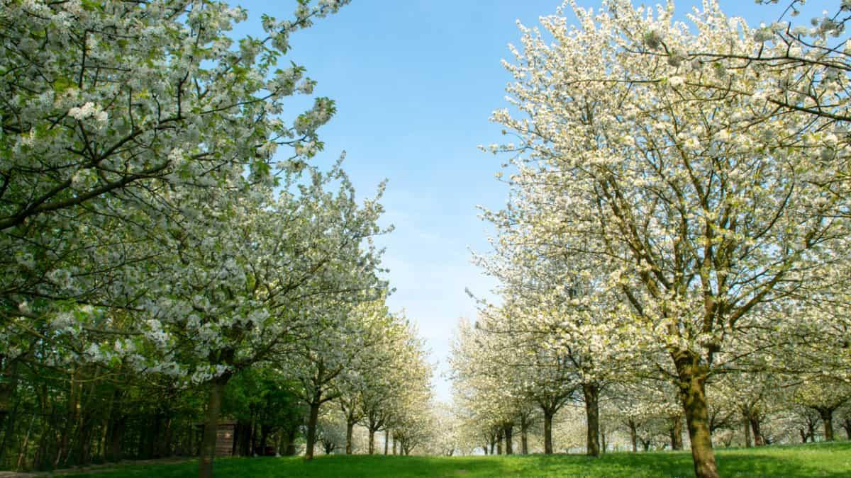 Bloesemroute Sint-Truiden