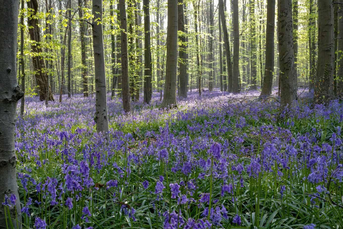 Hyacinten in het Hallerbos